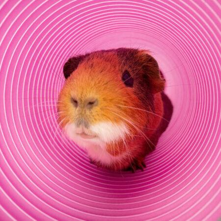 cavia kijkt uit een paarse speeltunnel