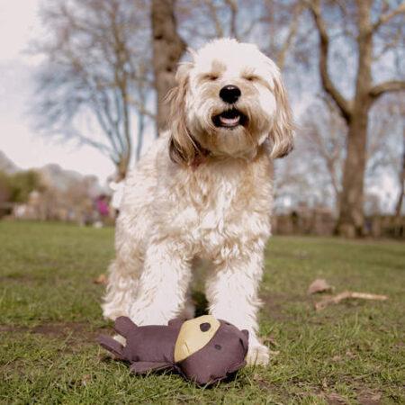 witte hond spelend met een zacht teddy hondenspeeltje in het park