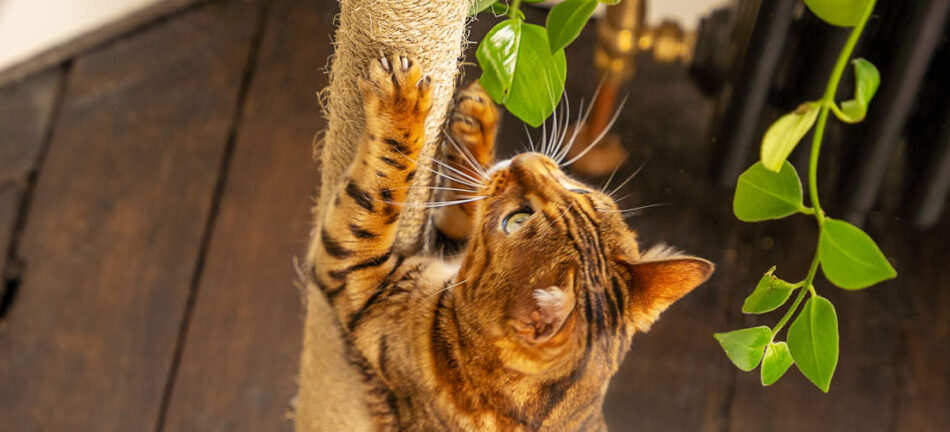 A Bengal cat looking up using the scratcher on the Omlet Freestyle cat tree