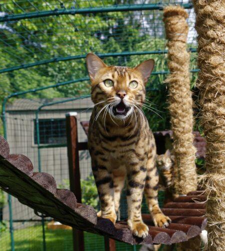 A Bengal cat using the Omlet outdoor cat run