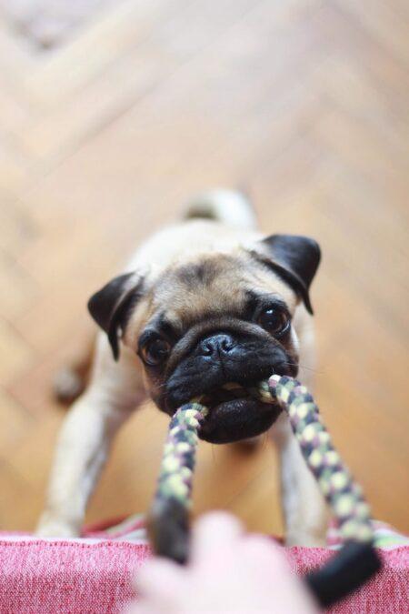 Een mopshond speelt binnen met een touw