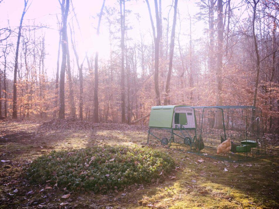 Chickens in an autumnal woods in their Eglu run