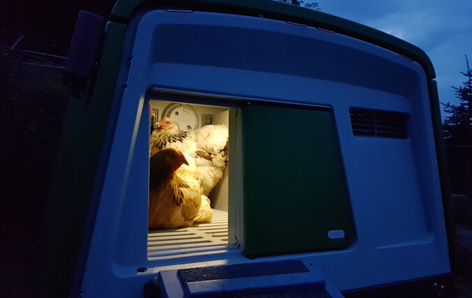 Chickens in the Omlet Eglu chicken coop at night