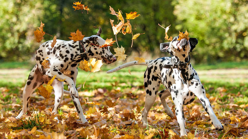 two dalmatians playing in the autumn leaves