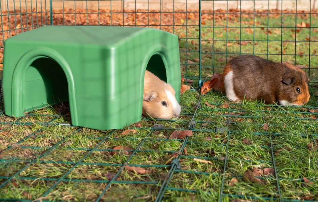 Two brown guinea pigs in a run, one in the Omlet Zippi Shelter
