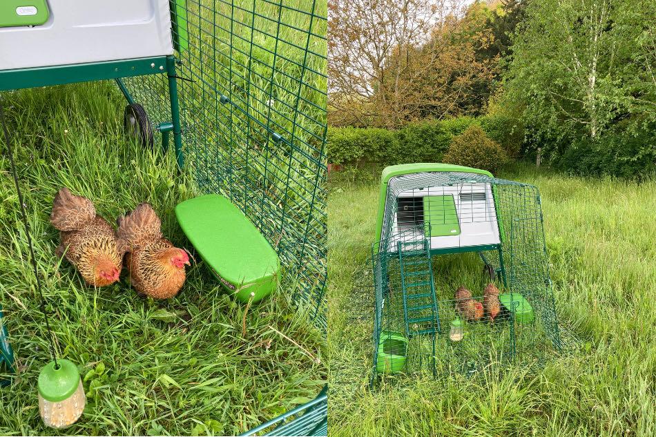 lockdown hens on chicken run