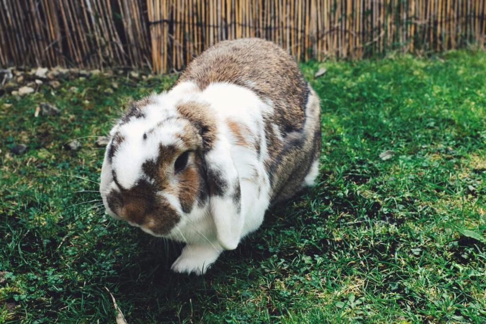 lop eared rabbit breed walking on grass