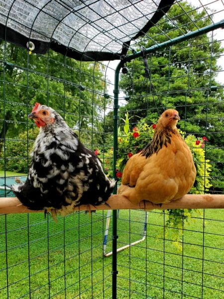 tell which hen is laying chickens perching