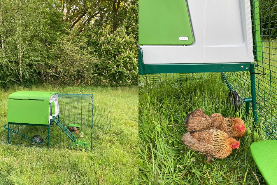 therapy chickens in green chicken coop