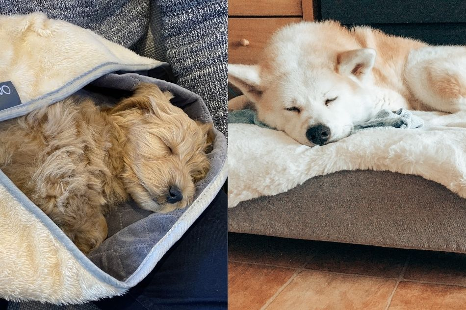 two dogs sleeping after autumn walks