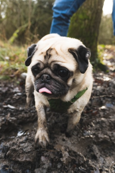 Muddy pug in the woods